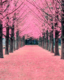 Cherry Blossom Tour Packages